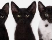 esterilizar-gato